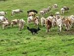 gara di cani da lavoro con bovini