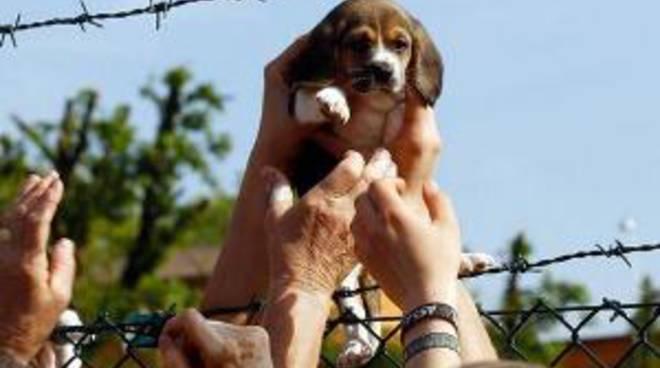 Un cucciolo di beagle liberato dal canile-lager Green Hill di Montichiari