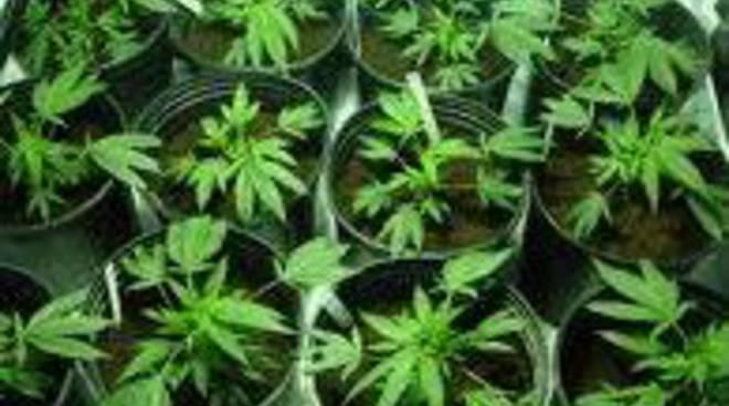Serra di marijuana