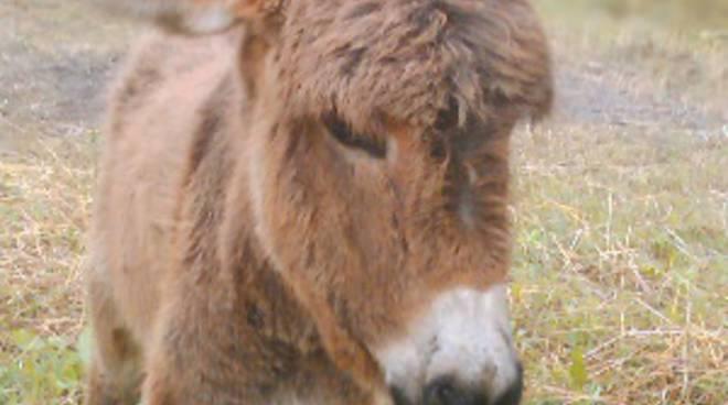 Il contributo dell asino tra allevamento turismo e for Il verso dell asino
