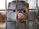 Allevamento di visoni per pellicce: a Casirate d'Adda il Comune dice basta