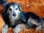Bart, il cagnolino che si è smarrito domenica a Mozzo