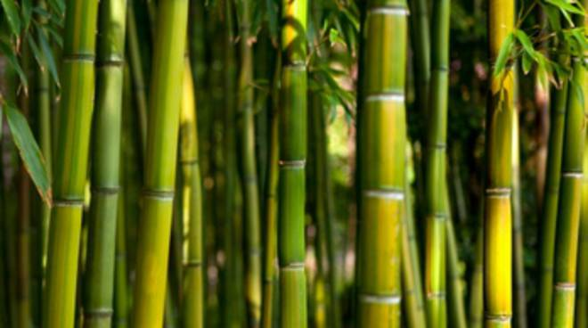 Il bambù diventa business
