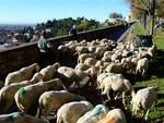 Pecore a spasso per Città Alta