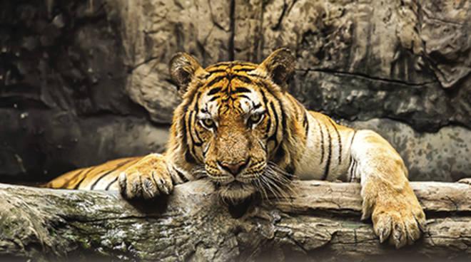 """La tigre è in pericolo: """"Cambia il suo destino"""" Sfida per salvare ..."""