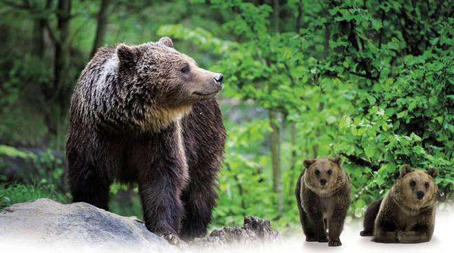 L 39 orso bruno il gigante buono pi minacciato d 39 italia for Affittare una cabina grande orso