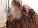 "L'avvoltoio Grifone salvato nel Pavese (foto Riserva Naturale Oasi WWF - SIC ""Valpredina e Misma"")"