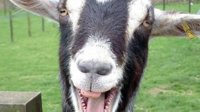 Capra, capra, capra