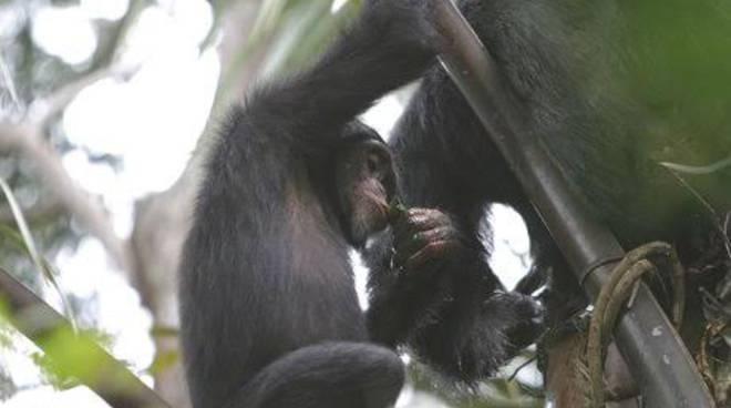 Scimpanzè ubriachi in Guinea