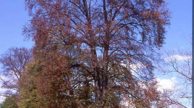 Faggio storico al parco Suardi di Bergamo