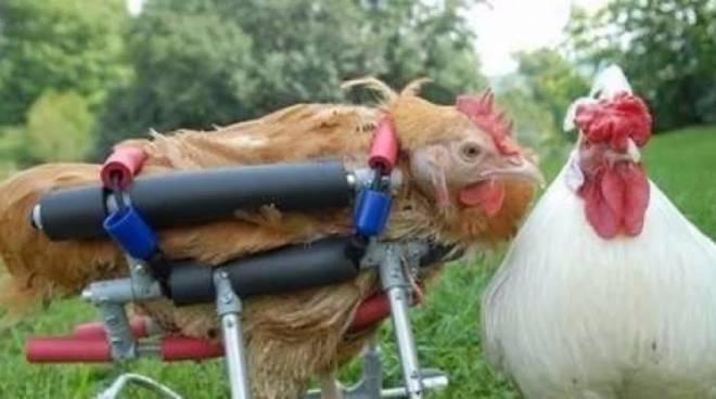 Cicely, la gallina con protesi costosa