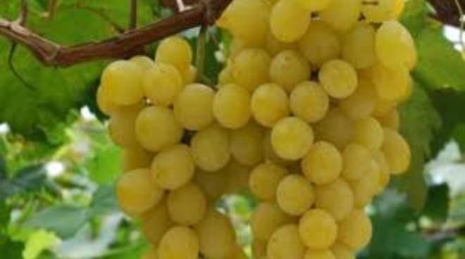 E' l'ora dell'uva
