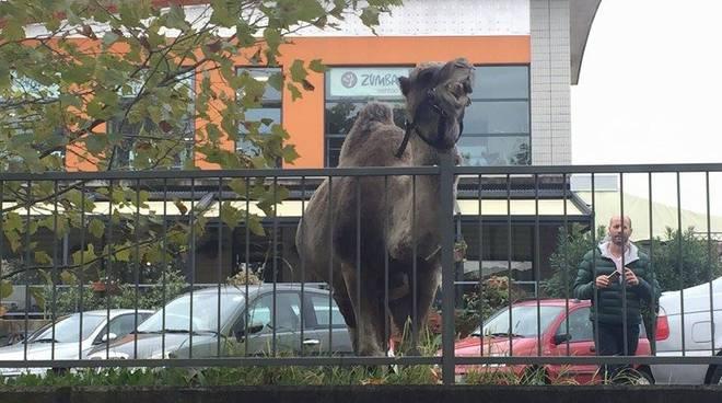"""Il cammello """"parcheggiato"""" a Ponte San Pietro"""
