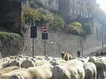 Le pecore invadono le mura di Città Alta