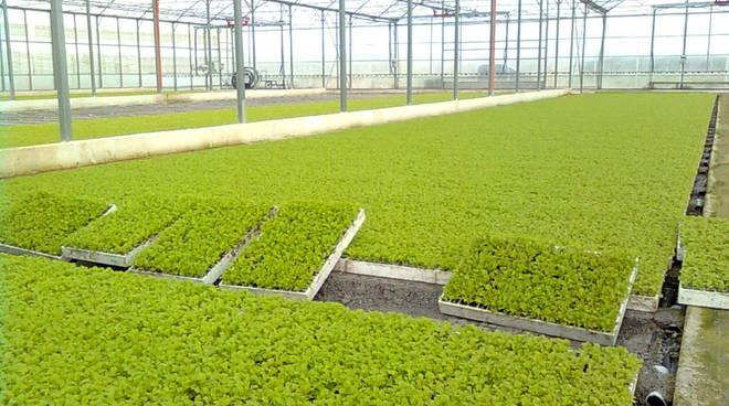 Serre di insalata di Agronomia