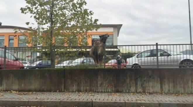 "Il dromedario ""parcheggiato"" a Ponte San Pietro"