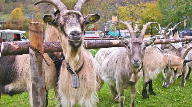 A gerola torna la mostra interprovinciale della capra for Recinzione elettrica per capre