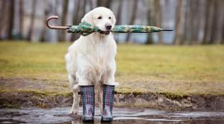 Cane pioggia