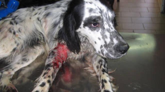 Grone cane cade in un pozzo di 25 metri vigile del fuoco for Cane setter