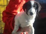Amelia, cucciola di 3 mesi cerca casa