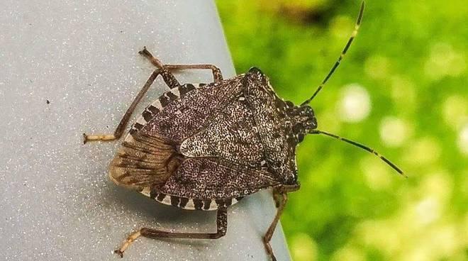 L 39 inverno non ha spento le cimici ancora invasione in for Cimice insetto