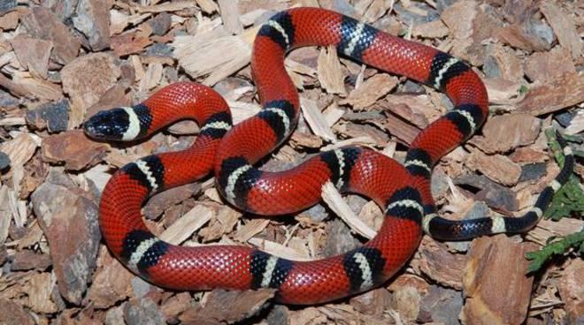falso cobra