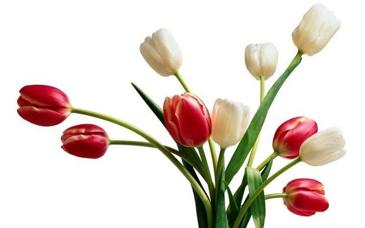 Fiori Tulipani.La Leggenda Del Tulipano Il Fiore Dell Amore Bergamo News