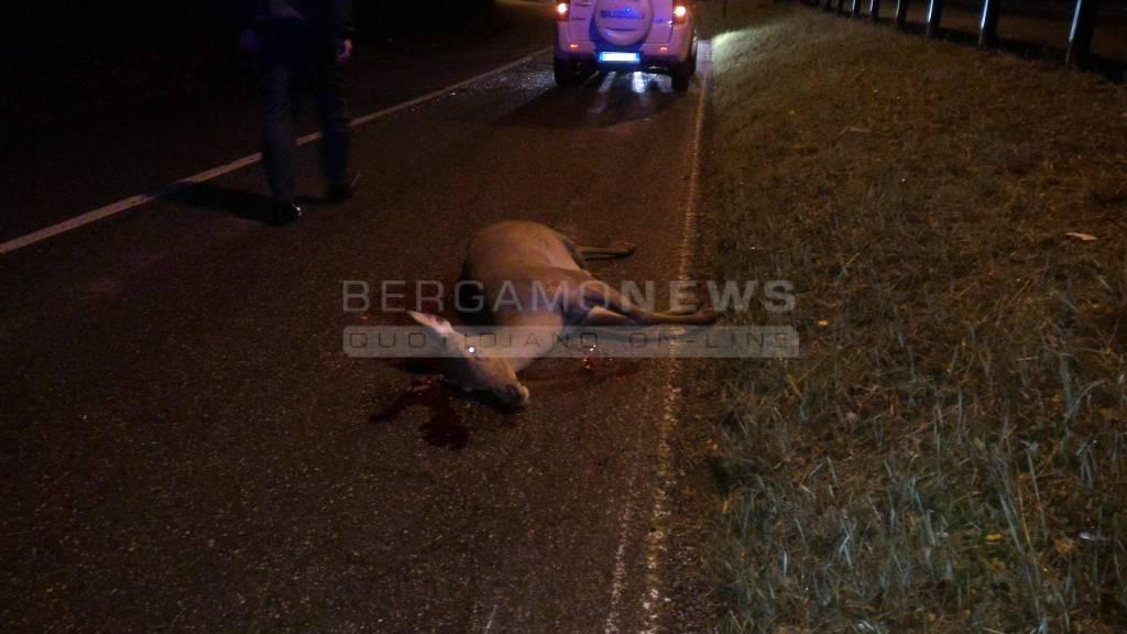 Cervo ucciso a Rovetta