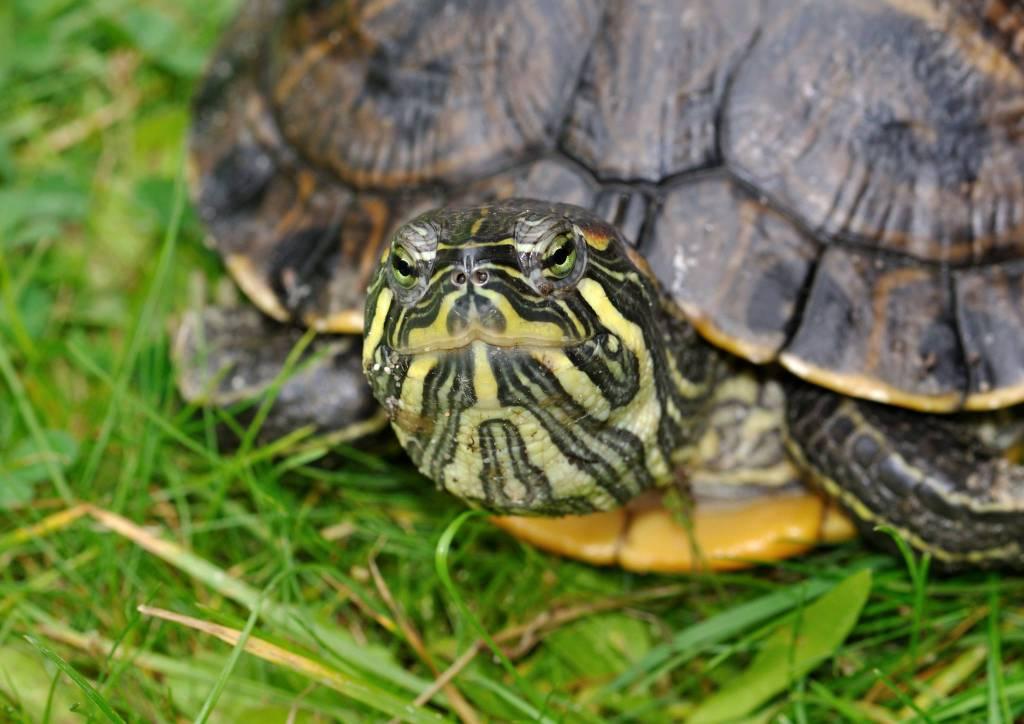Tartarughe d 39 acqua denuncia obbligatoria entro il 13 for Acqua tartarughe