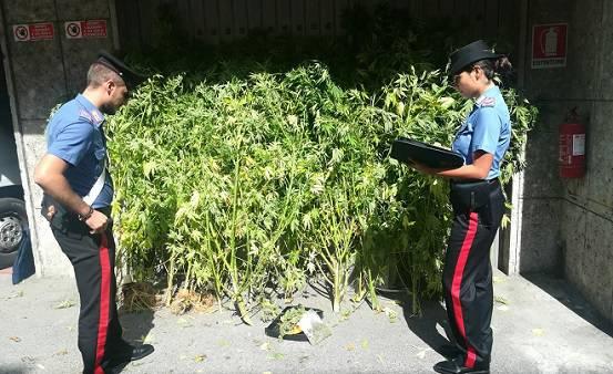 marijuana zogno