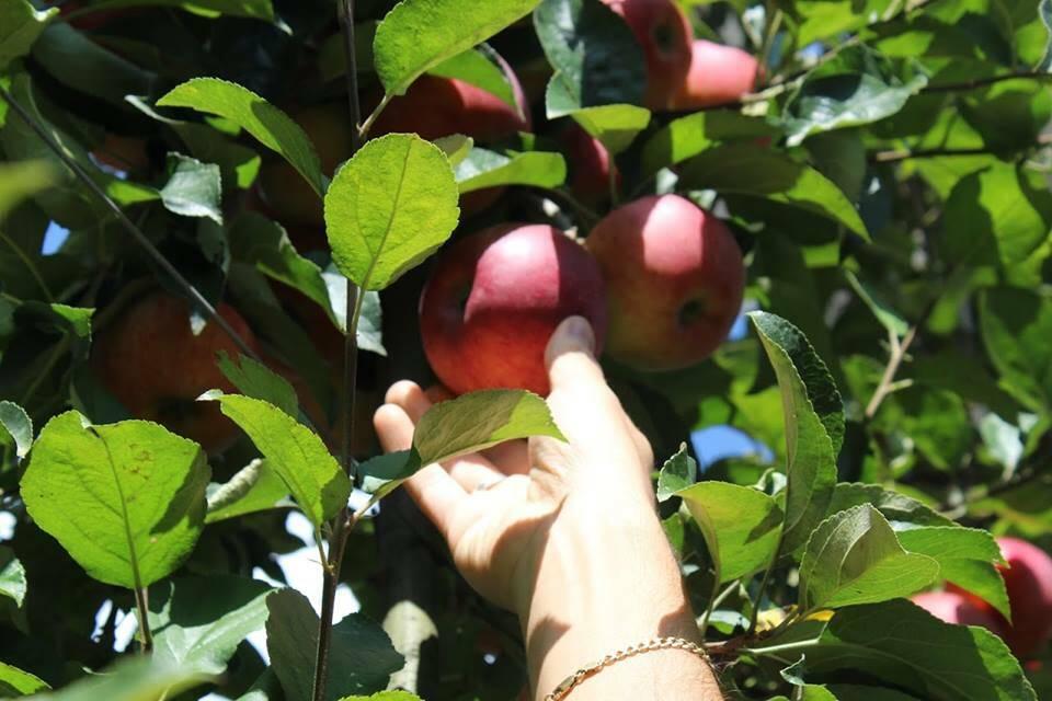 Autoraccolta delle mele a Corna Imagna