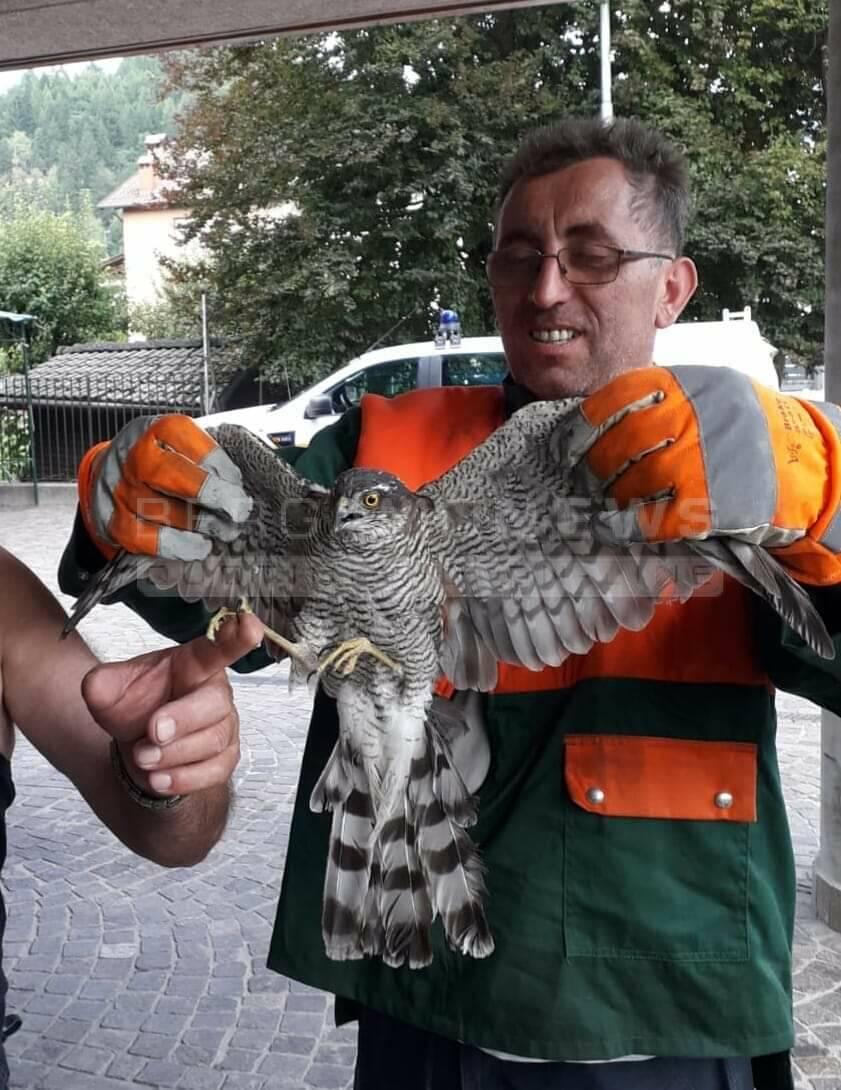 Falco incastrato onore