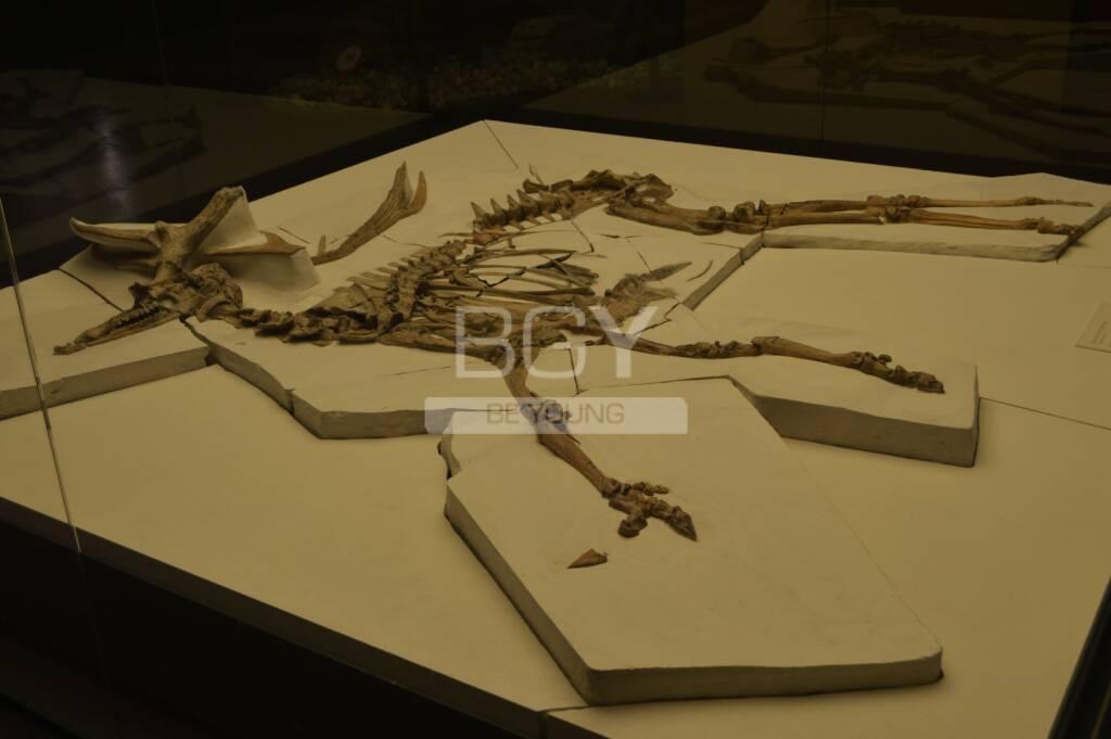 Cervo fossile di Sovere
