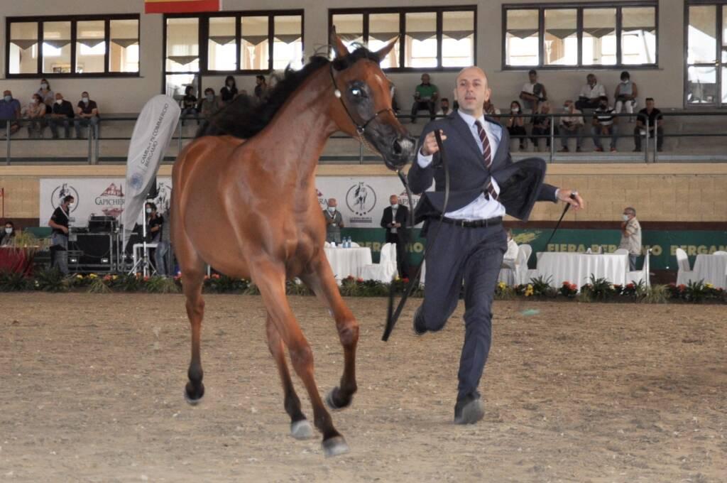 Concorso internazionale riservato ai cavalli purosangue arabi