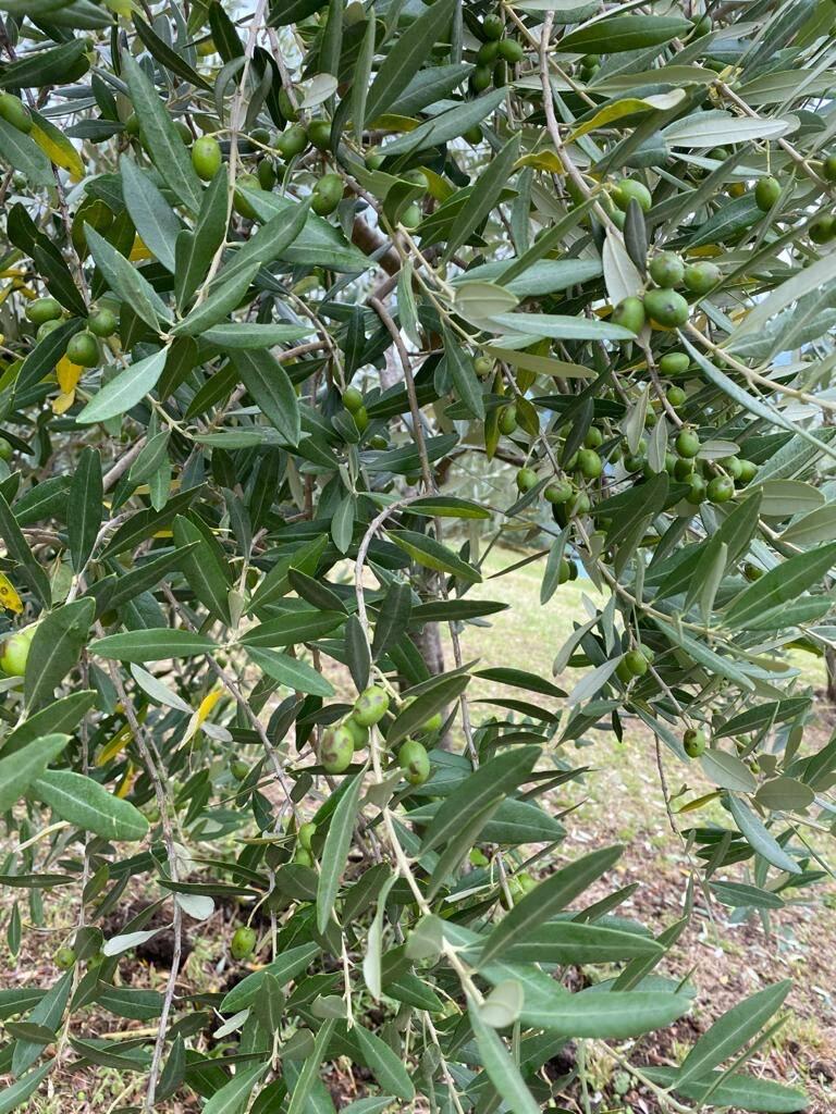 olivi danneggiati