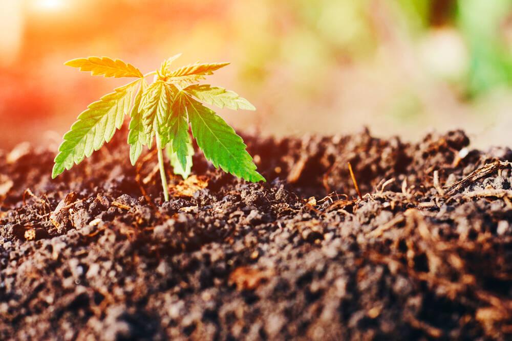 Semi di cannabis light: ecco come coltivarli in modo legale