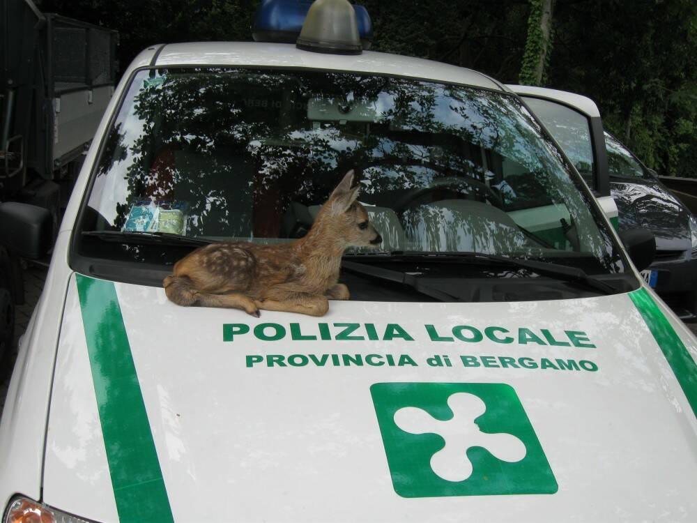 cucciolo capriolo salvato