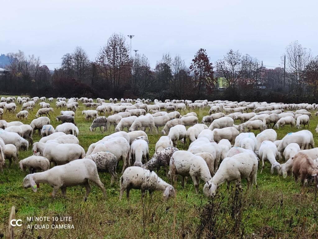 marco cominelli gregge pecore